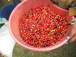 The fruits of seven tourists picking coffee beans for 15 minutes - less than what one farmhand can pick in the same amount of time.